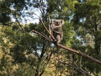Koala-Bear Sits in the Old Gum Tree