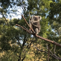 Koala-Bear Sits in the Old Gum Tree