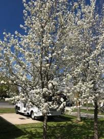 Ornamental Pear Blossom everywhere in this Caravan Park in Hamilton
