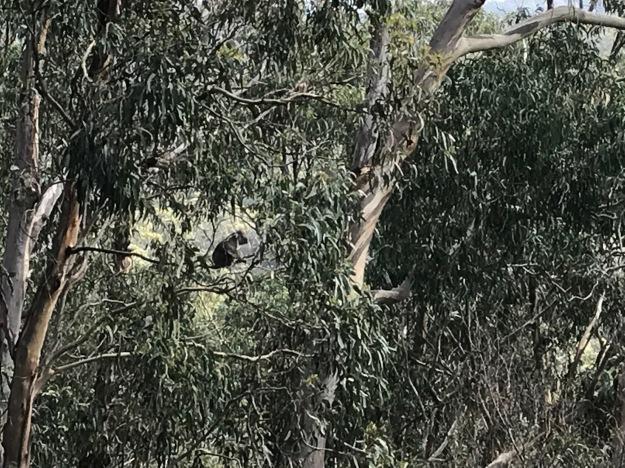 Koala in the Wild!!!