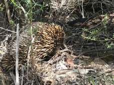 Short beaked echidna (pronounced e-kid-nuh) - not that rare but first we've seen!