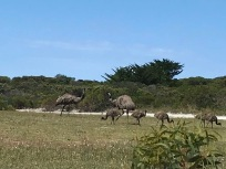 Emu Family at Little Emu Bay