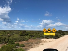 Beware of camels, wombats, kangaroos as well as emus, cattle and horses too!