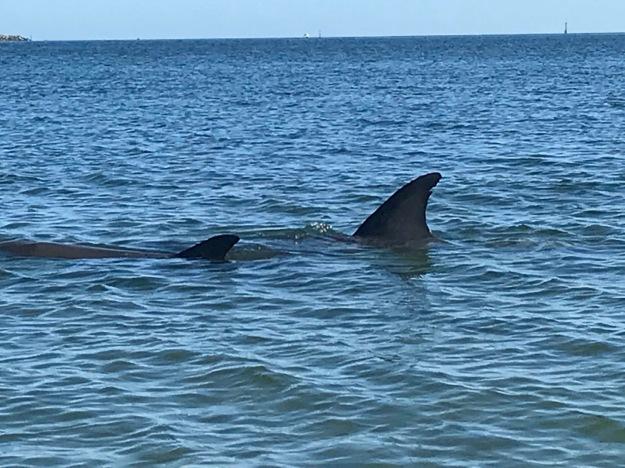 Elusive Dolphin