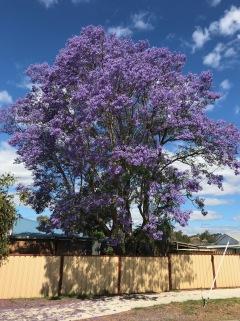 Beautiful Jacaranda Tree
