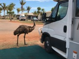 Emu checking us out in Exmouth