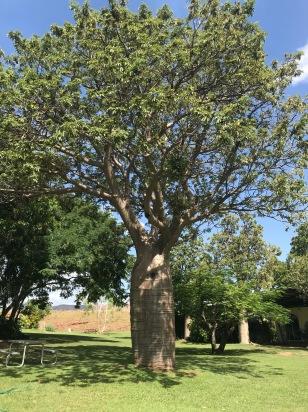 Boab Tree 2