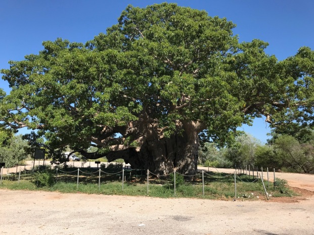 Giant Boab Tree