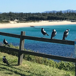 Forster's Friendly Magpie