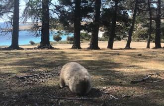 Wild Wombats